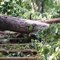 写真: 城山上りの倒木