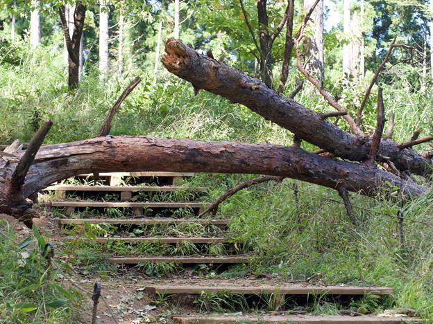 写真: 城山上りの倒木その2