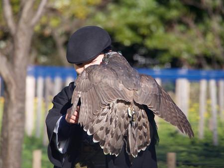 鷹には発信機がついている