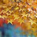 紅葉に枯れ松落葉1