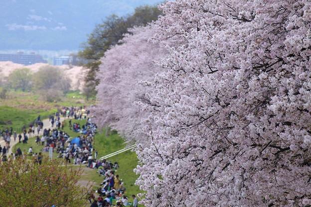 橋上からの桜の様子