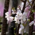 八重紅彼岸桜