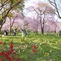 桜の庭を歩く