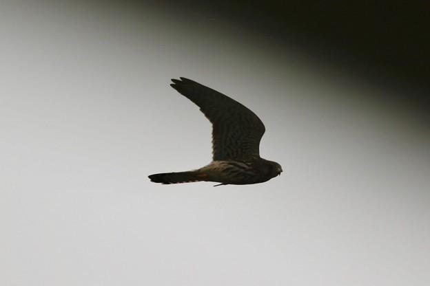 写真: 猛禽類