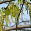 コナラの花(花園中央公園) (2)