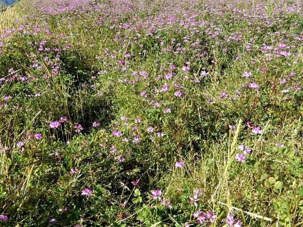 レンゲソウ畑 (1)