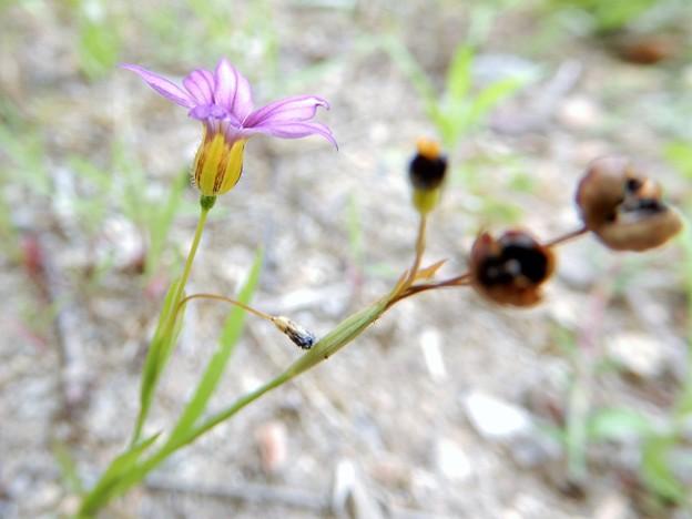 ニワゼキショウの種子 (2)