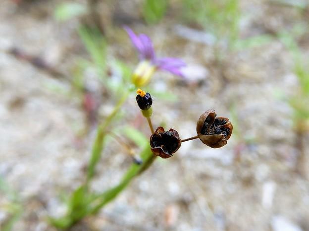 ニワゼキショウの種子 (3)