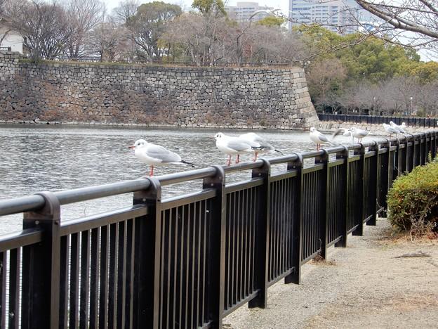 大阪城公園のカモメ (1)