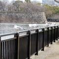 写真: 大阪城公園のカモメ (1)