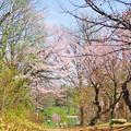 帯広の桜2