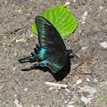 Photos: 様々な蝶にも出会います