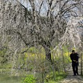 写真: 枝垂れ桜(相野の花)