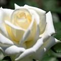 純白の薔薇