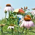 Photos: 菜園の夏