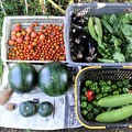 Photos: 2017年9月3日の収穫