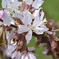 写真: 桜前線のゴール