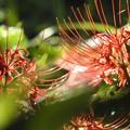 写真: 輝く彼岸花