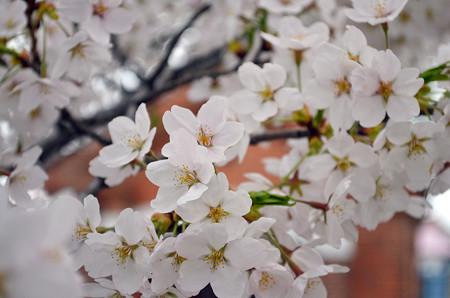 170417内川河川緑地公園の桜05