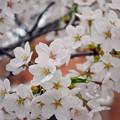 写真: 170417内川河川緑地公園の桜05