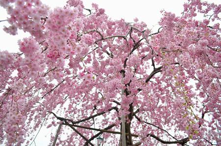 170417内川河川緑地公園の桜08