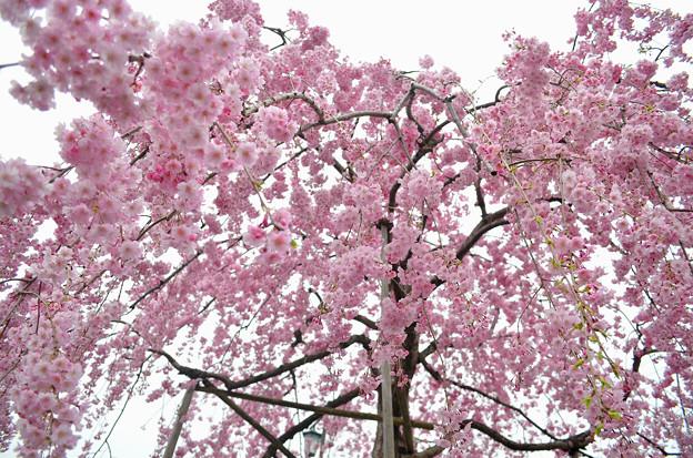 写真: 170417内川河川緑地公園の桜08