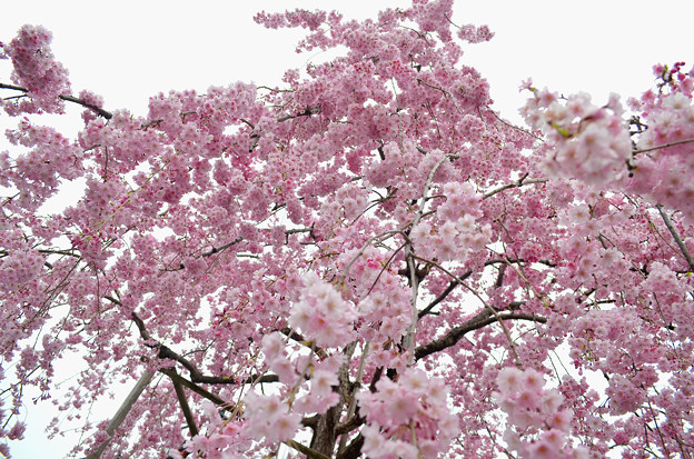 写真: 170417内川河川緑地公園の桜09