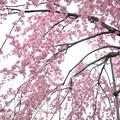 170417内川河川緑地公園の桜10