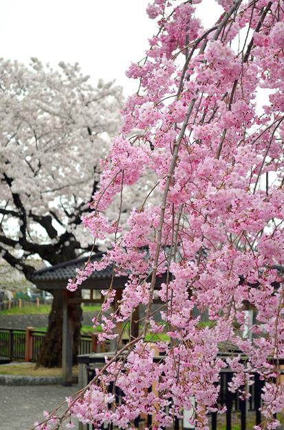 写真: 170417内川河川緑地公園の桜11