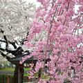 170417内川河川緑地公園の桜11