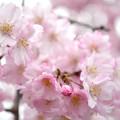 写真: 170417内川河川緑地公園の桜13