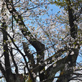 写真: 170422松ヶ岡開墾場 古木