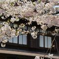 写真: 170422松ヶ岡開墾場 桜と開墾記念館01