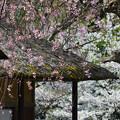 写真: 170422松ヶ岡開墾場