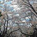 写真: 170422松ヶ岡開墾場桜並木02