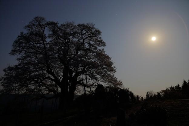 写真: 月明りの醍醐桜
