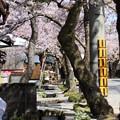 写真: がいせん桜