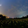 写真: 月夜の向日葵畑