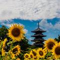 写真: 五重塔と向日葵