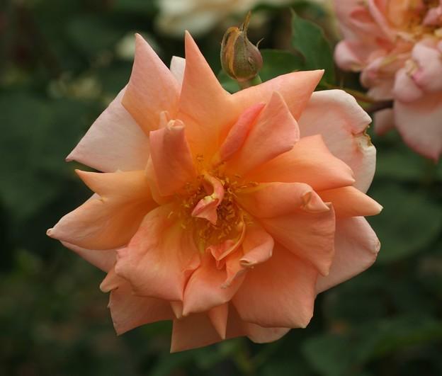 カリフォルニア 'California' Haward (米 1940) HT Miss Rowena Thom × Lady Forteviot