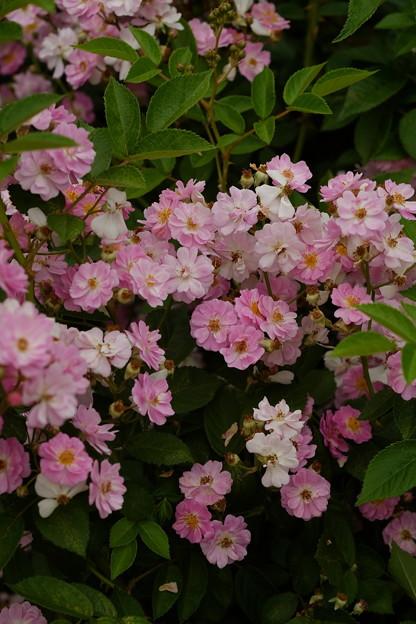 ブルーミスト 'Blue Mist' Moore (米 1970) Pol seedling of Rosa polyantha 'nana' (2)