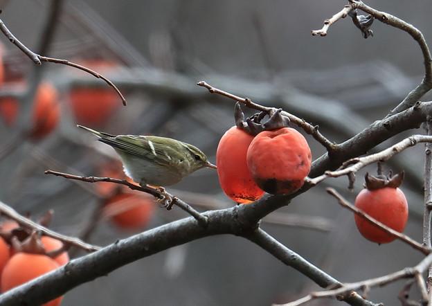 甘くなった渋柿-4