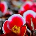 写真: 落花の舞