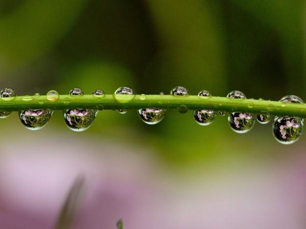 写真: 雨秋桜