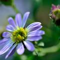 写真: 淡い紫で