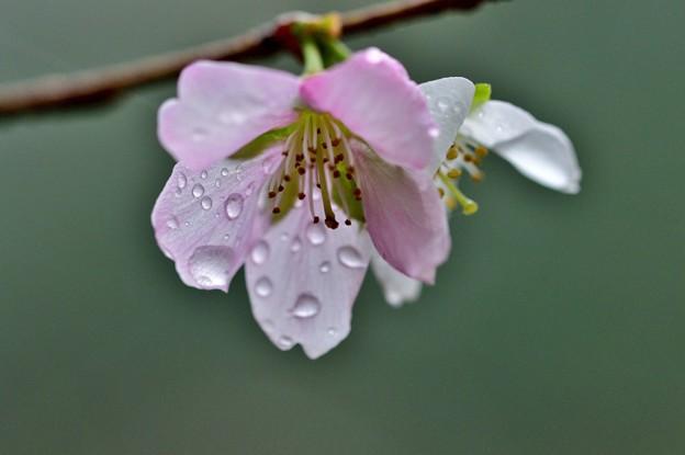 写真: 秋の桜