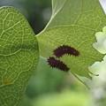 ジャコウアゲハ幼虫(6月1日)