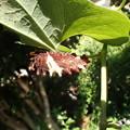 ジャコウアゲハ幼虫 (6月14日) (1)