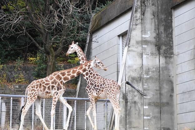 キリン(東山動物園) (3)