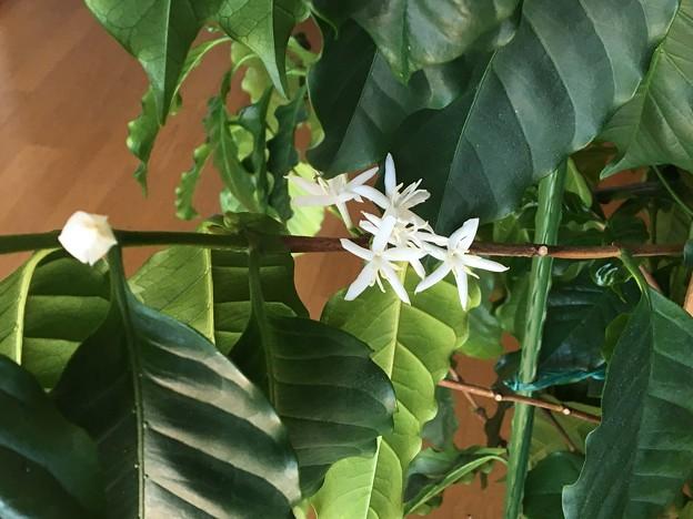 コーヒーの木の花